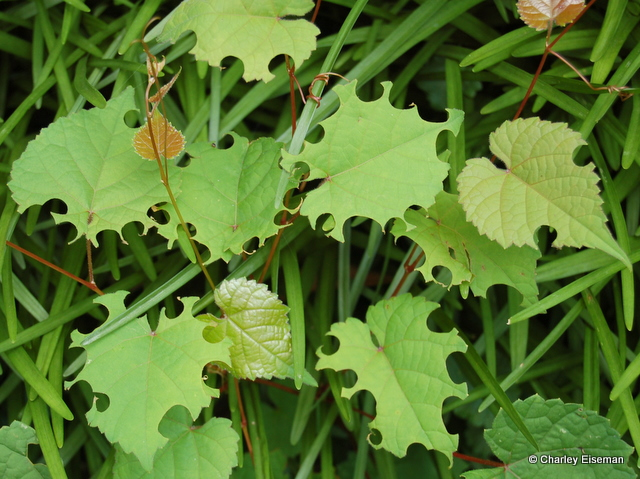 Grape Leaves Cut By Leafcutter Bees