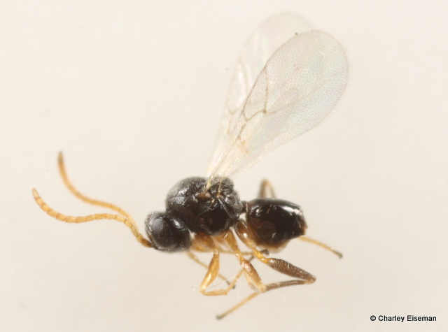 Cynipid wasp from the same gall (0.8 mm).