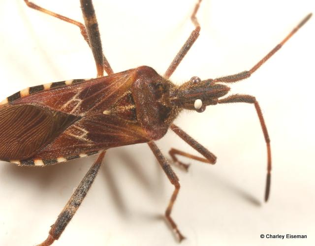 Egg on a Leaf-footed Bug | BugTracks