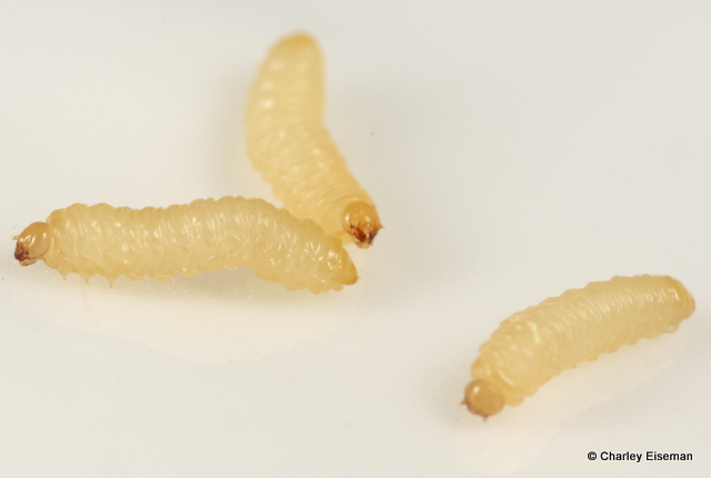 Small Yellow Worms In Kitchen