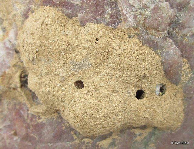 larvae mud nest - Sceliphron caementarium - BugGuide.Net