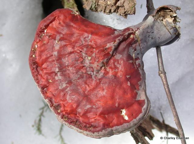 hemlock polypore