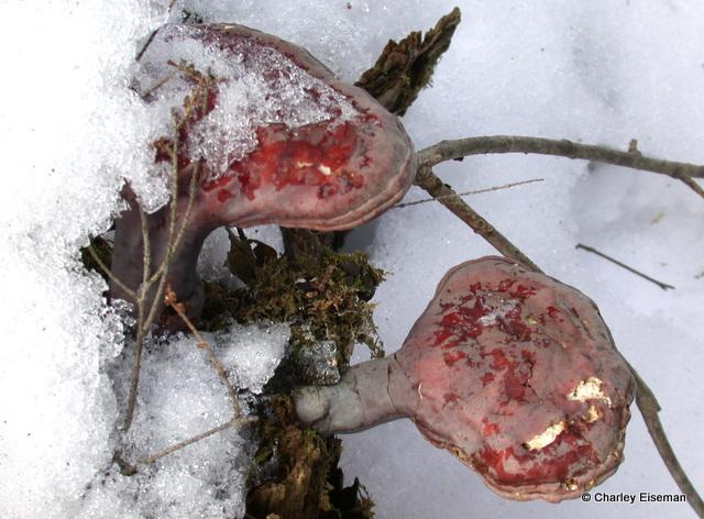 hemlock polypores