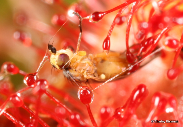 Cerodontha dorsalis (Agromyzidae), a fly whose larvae mine grass leaves, caught by the sticky hairs of a sundew leaf.