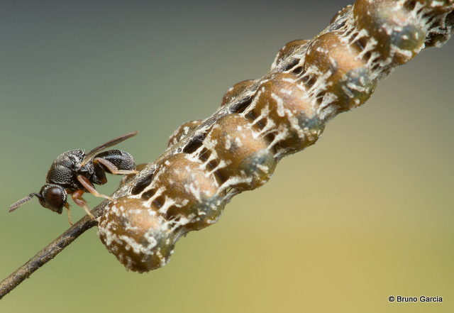 Eurytomidae-001