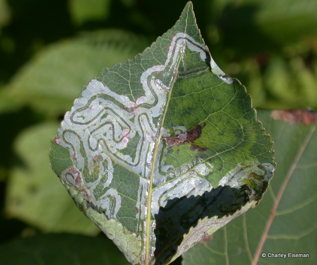 Phyllocnistis mines on aspen leaf
