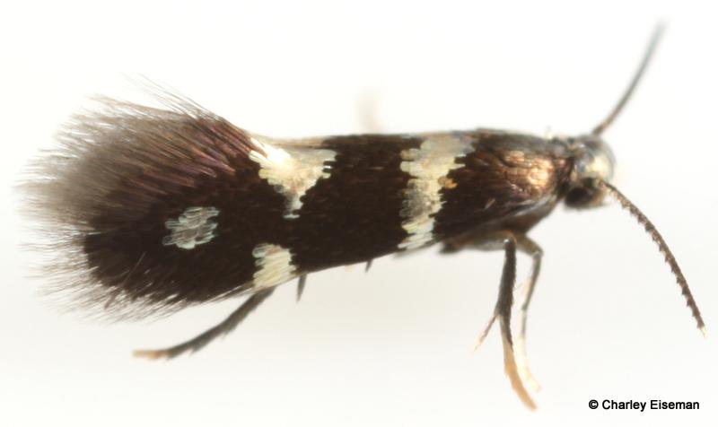 Parthenocissus, MA (Pelham) adult-001